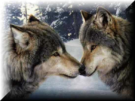 Wolves communicate with body language. Unlike dogs, they rarely bark